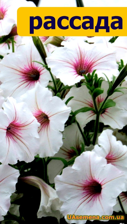 ������� - ������� Supertunia - Vista Silverberry, 1 ��